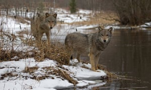 wolves in the snow on the riverside