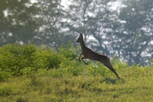 A young roebuck in a nature reserve near Tamasi, Hungary