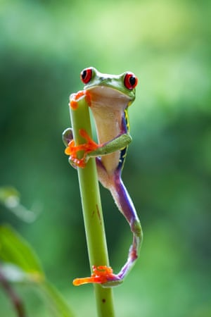 A red-eyed tree frog holds on in the Costa Rican jungle