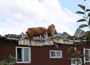 Gurye, South Korea, cows await rescue on the roof of a cattle shed after flooding