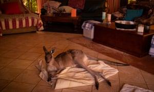Mim, a female eastern grey kangaroo shelters inside the home on the outskirts of Kulnura, NSW