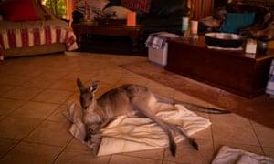 Mim the kangaroo in a family's home in Kulnura, NSW