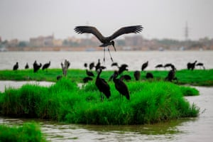 A congregation of ibises gather on the bank of the Nile in the Sudanese capital of Khartoum