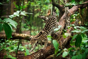 An ocelot in the rainforest in Belize