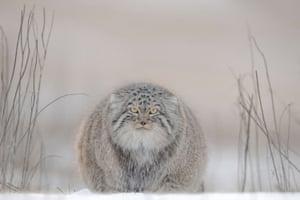 Wild Steppe Region of Mongolia. A Pallas Cat in winter amongst reeds