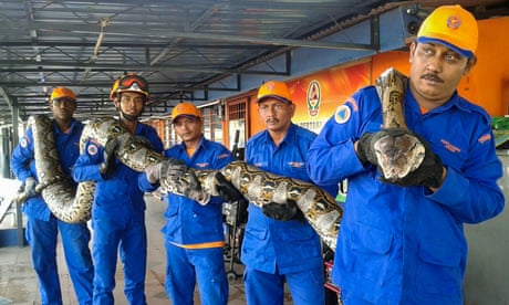 Python Caught In Malaysia Could Be The Longest Ever Recorded World