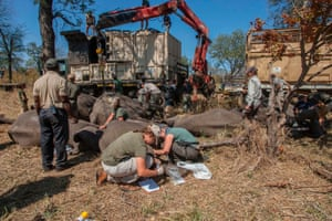 African Parks officials prepare to load elephants into a truck, to be translocated from Majete game reserve, southern Malawi to Nkhotakota in the central region