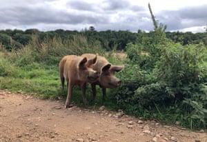 Tamworth pigs roam the rewilding part of the estate at Wild Ken Hill in Norfolk, UK.