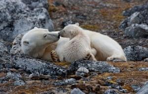 A polar bear and her cub
