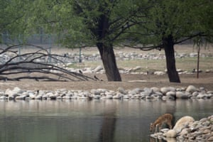 A Père David's deer fawn tests the waters at the Beijing Milu ecological research centre