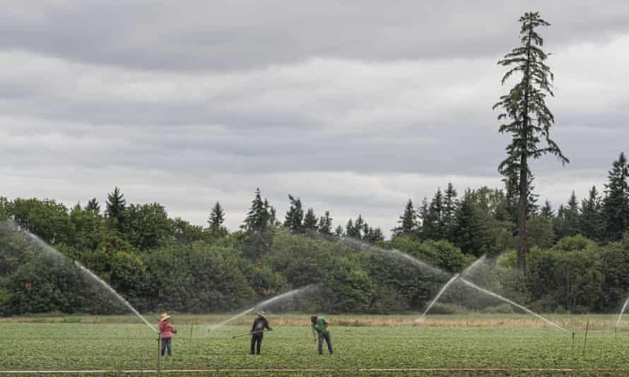 Field laborers work at a farm St. Paul, Oregon, during a heatwave.