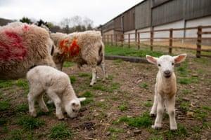 Newborn lambs at Moreton Morrell College in Warwickshire, England