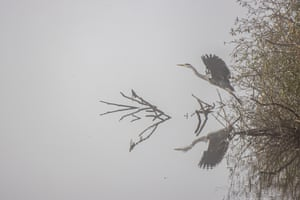 A grey heron flies away close above a lake, in Mecklenburg-West Pomerania, Germany