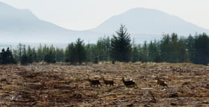 Deer in the Flow Country