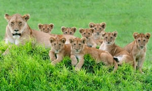 A female lion and cubs rest in the Serengeti Loliondo Conservation in Tanzania