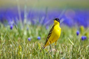 A western yellow wagtail rests near Van in Turkey