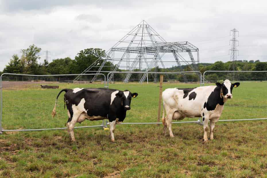 Cows at the Pyramid stage