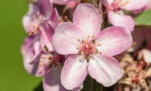 Malus 'Laura' - crab apple blossom