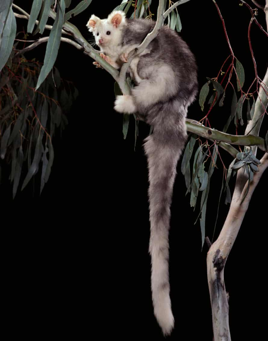 Greater glider at night