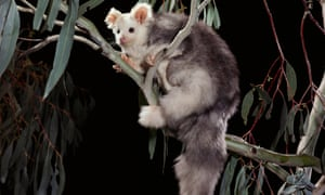 Greater glider numbers are said to be in decline across Australia