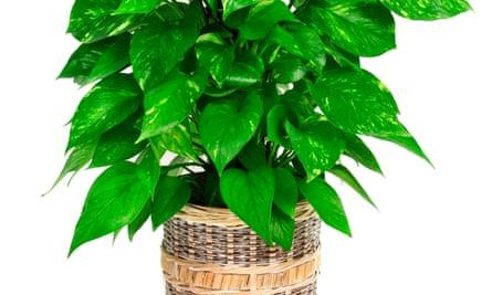 A devil's ivy plant.