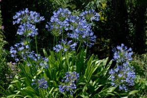 African blue lily Agapanthus africanus flowers back lit in a garden
