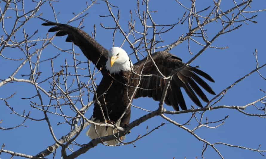 Officials say the 'strong return' of American bald eagles is a reminder of the power importance of federal conservation efforts and protections.