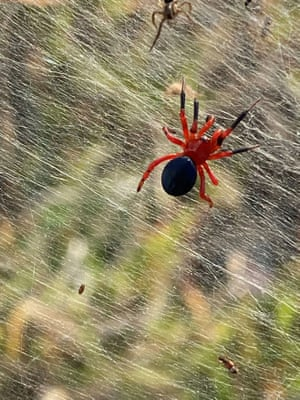 The red and black spider on gossamers near wetlands in Longford, Victoria, Australia. Sheet-like spider webs have been found in Victoria following recent flooding