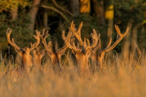Red deer with velvet antlers in Fakenham, Norfolk, England.