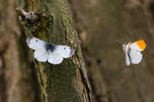 A pair of mating orange-tip butterflies in Bath, UK