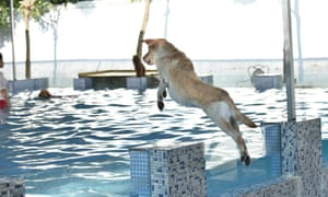 One dog is eager to get back in the water as it makes a leap from the poolside