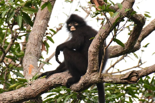 The recently classified Robinson's banded langur is considered near threatened. Photograph: Andie Ang