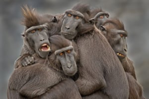 Sulawesi crested black macaques in Indonesia – one of the highlighted images in the Sony world photography awards.