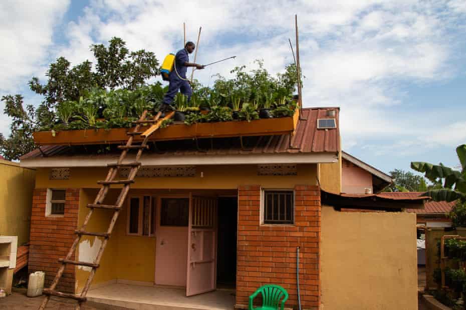 A rooftop farmer tends to his greenery in Kampala, Uganda