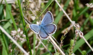 Silver-studded blue butterfly (Plebejus argus).