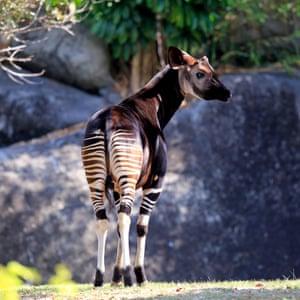Okapi (Okapia johnstoni), adult, captive, Miami, Florida, USAE8DAMY Okapi (Okapia johnstoni), adult, captive, Miami, Florida, USA