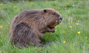 A Eurasian beaver.