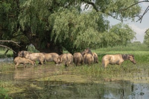 Herd of wild konik or Polish primitive horse walk through the flooded forest in the Danube delta