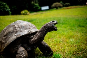 Jonathan, a Seychelles giant tortoise – believed to be the oldest reptile living on earth with and alleged age of 185 years – crawls on the lawn of the Plantation House, the UK governor official residence in Saint Helena British overseas territory in the South Atlantic Ocean