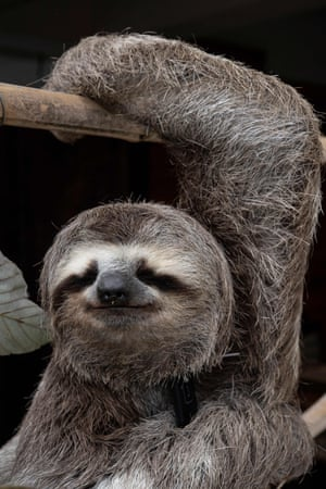 A sloth (Bradypus tridactylus) called Chuwie, who lost the claws of three of his four legs when he was electrocuted on power lines and rescued after suffering serious burns, remains hanging while being feed at Chuwie's Sloth Rescue Center in San Antonio de Los Altos, Miranda state, Venezuela.