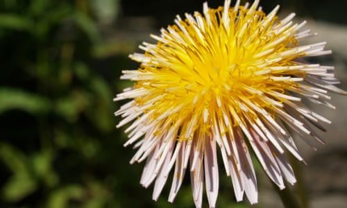 Give your dandelions a closer look you may find a new species give your dandelions a closer look you may find a new species life and style the guardian mightylinksfo
