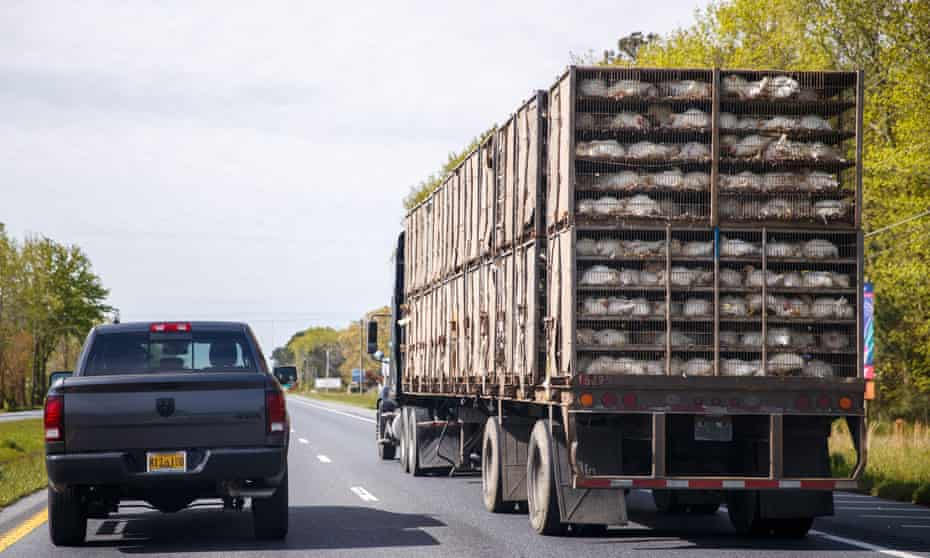 A truck loaded with chickens drives on the highway in Virginia.