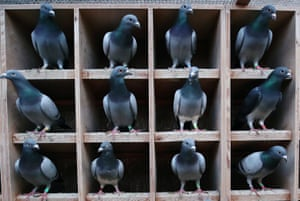 Knesselare, Belgium Pigeons at Belgian auction house for racing birds.
