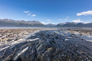 Spawning silver and pink salmon stranded by low tide lie rotting along a creek in Valdez in south-central Alaska