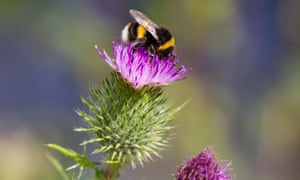 A bumble bee on a spear thistle