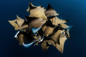 A Rare Encounter with Cownose Rays by Alex Kydd, Australia