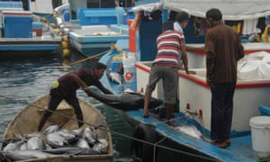 Yellowfin tuna catch in a fisherman's boat