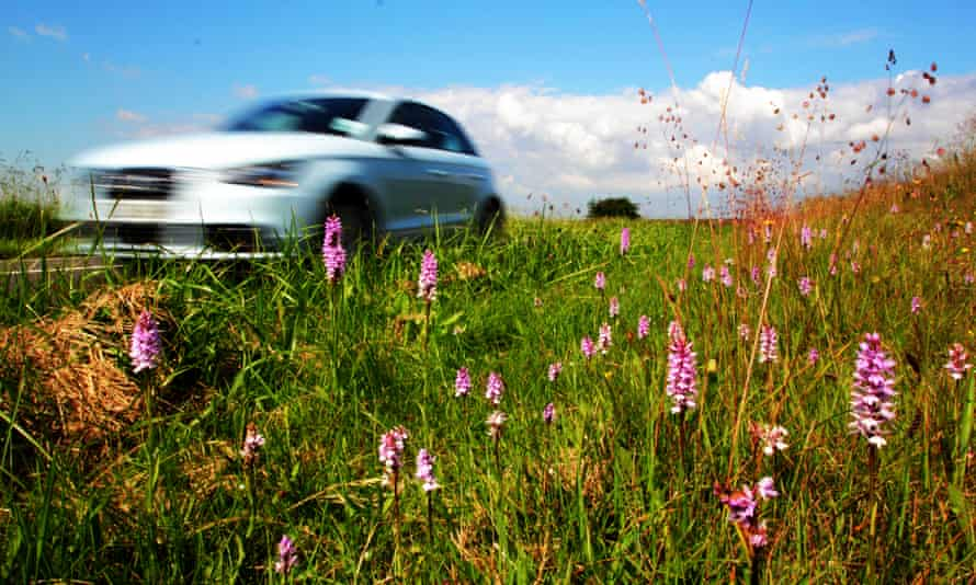Wild common spotted orchids flourish on a rural roadside verge in the Peak District.
