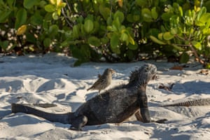 A Galapagos marine iguana sunbathes while a small ground finch feeds at Tortuga Bay beach on the Santa Cruz Island in Galapagos, Ecuador