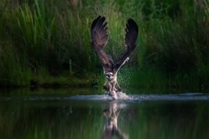 The dramatic winning shot of the National Parks Photography Competition 2020 from Peter Stevens depicts a rare osprey swooping on its prey in the Cairngorms National Park.